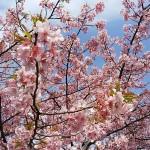 三浦海岸🌸桜まつり🌸開花状況