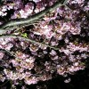 三浦海岸🌸桜まつり🌸ライトアップ編